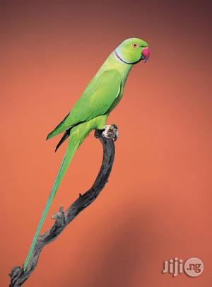Indian Ringed Neck, African Grey, Pigeons, Lovebirds | Birds for sale in Lagos State, Ojo