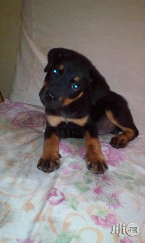 Baby Male Purebred Rottweiler | Dogs & Puppies for sale in Enugu State, Enugu