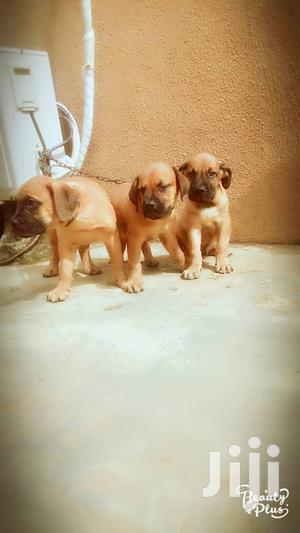 Baby Male Purebred Boerboel   Dogs & Puppies for sale in Lagos State, Ikotun/Igando