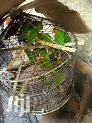 Love Bird (Male & Female) For Sale   Birds for sale in Lagos State