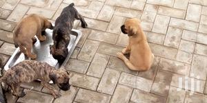 1-3 Month Female Purebred Boerboel | Dogs & Puppies for sale in Lagos State, Ojodu