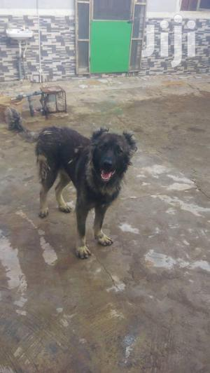 Adult Male Purebred Caucasian Shepherd | Dogs & Puppies for sale in Lagos State, Ojodu