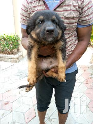 1-3 Month Male Purebred German Shepherd   Dogs & Puppies for sale in Lagos State, Lagos Island (Eko)
