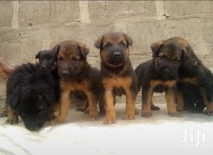 Baby Female Purebred German Shepherd   Dogs & Puppies for sale in Lagos State, Ikorodu