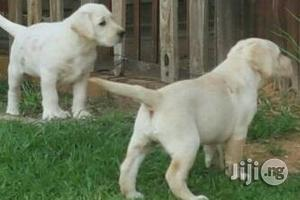 Labrador Pups | Dogs & Puppies for sale in Lagos State, Victoria Island