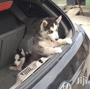 1-3 Month Female Purebred Siberian Husky | Dogs & Puppies for sale in Lagos State, Surulere