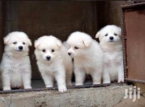 Baby Female Purebred American Eskimo | Dogs & Puppies for sale in Lagos State, Ikorodu