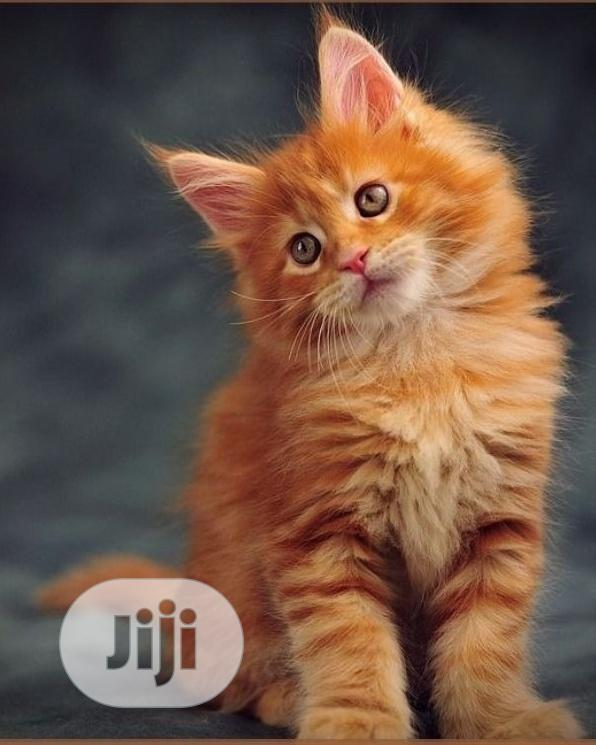 1-3 Month Male Purebred Maine Coon