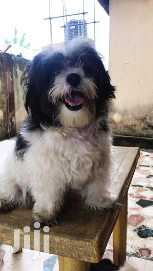 6-12 Month Female Purebred Lhasa Apso | Dogs & Puppies for sale in Lagos State, Lekki