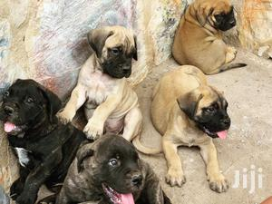Baby Female Purebred Boerboel | Dogs & Puppies for sale in Lagos State, Surulere