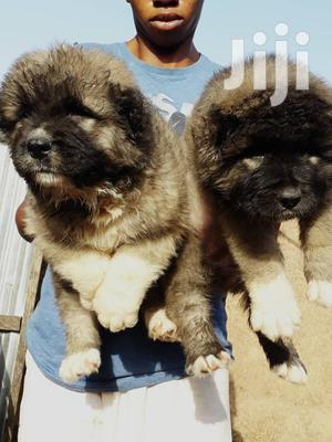 1-3 Month Female Purebred Caucasian Shepherd   Dogs & Puppies for sale in Lagos State, Surulere