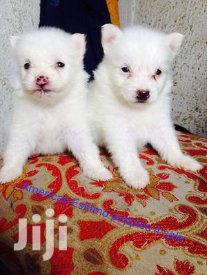 Baby Female Purebred American Eskimo | Dogs & Puppies for sale in Lagos State, Surulere