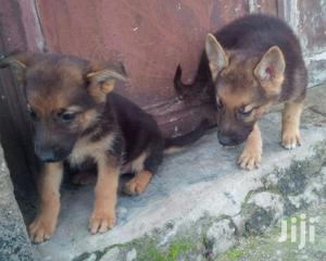 1-3 Month Female Purebred German Shepherd | Dogs & Puppies for sale in Oyo State, Ibadan