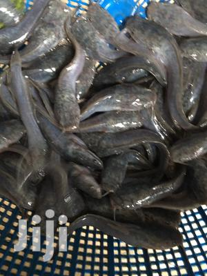 Standard Catfish Fingerlings And Juvenile Available | Livestock & Poultry for sale in Lagos State, Ikorodu