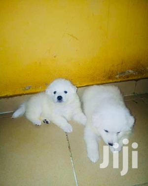 Baby Male Purebred American Eskimo | Dogs & Puppies for sale in Lagos State, Ikorodu