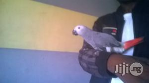 Africa Grey Parrot for Sale. | Birds for sale in Lagos State, Alimosho