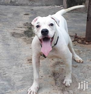 6-12 Month Female Purebred Bulldog | Dogs & Puppies for sale in Lagos State, Lekki