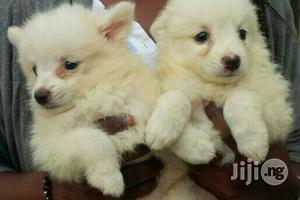 Baby Female Purebred American Eskimo | Dogs & Puppies for sale in Lagos State, Maryland