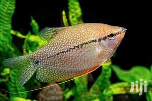 Pearl Gourami   Fish for sale in Lagos State, Ikeja