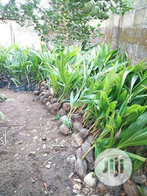 Improved Hybrid Dwarf Coconut Seedlings For Sale | Feeds, Supplements & Seeds for sale in Oyo State, Ibadan