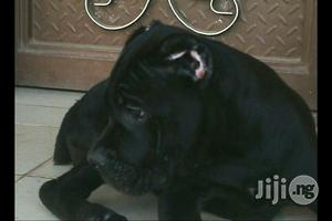 Cane Corso Pups | Dogs & Puppies for sale in Lagos State, Ikeja