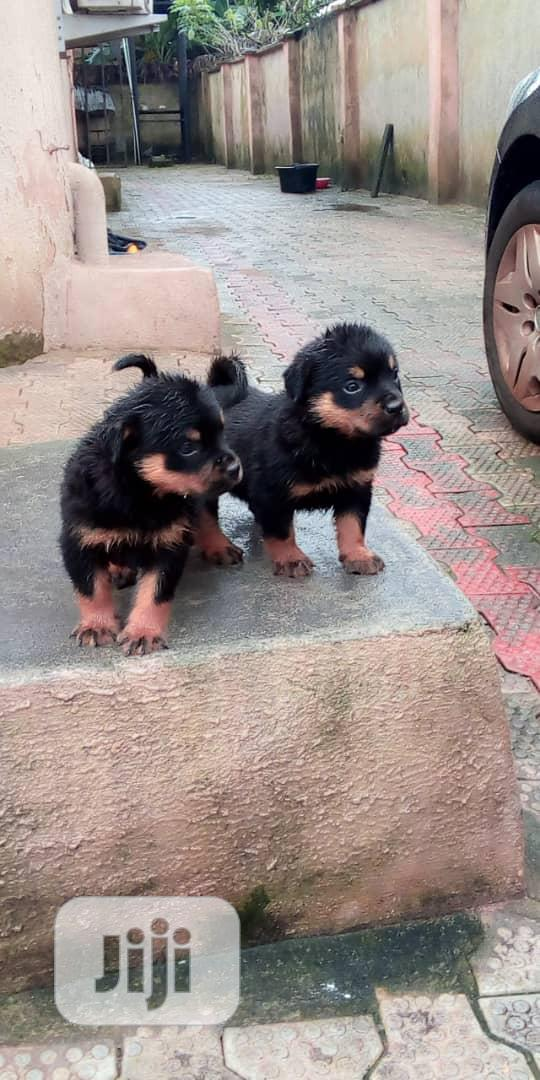 Baby Female Purebred Rottweiler | Dogs & Puppies for sale in Uvwie, Delta State, Nigeria