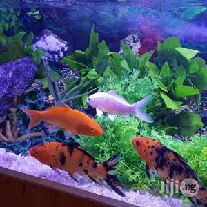 Japanese Koi Fish | Fish for sale in Lagos State, Maryland