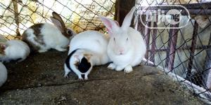 Beautiful English Rabbits   Livestock & Poultry for sale in Kaduna State, Zaria