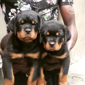 6-12 month Female Purebred Rottweiler | Dogs & Puppies for sale in Lagos State, Lekki