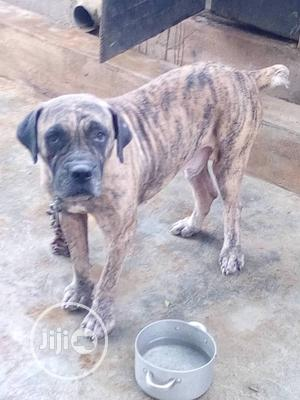 Adult Male Purebred Boerboel | Dogs & Puppies for sale in Lagos State, Ikorodu