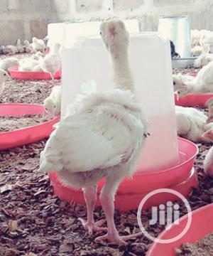 4 Weeks Old Turkey | Livestock & Poultry for sale in Oyo State, Ibadan