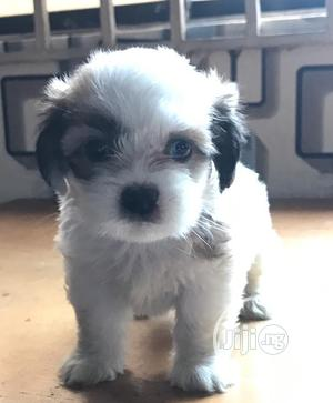 Young Female Purebred Lhasa Apso | Dogs & Puppies for sale in Delta State, Oshimili South