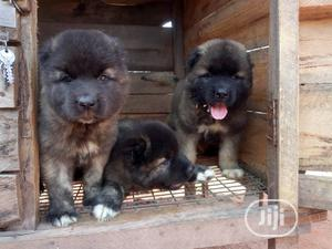 Baby Male Purebred Caucasian Shepherd   Dogs & Puppies for sale in Delta State, Oshimili South