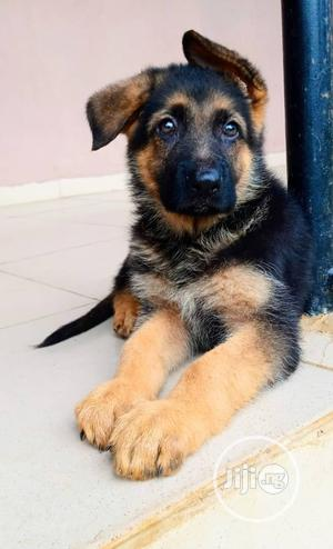 1-3 Month Female Purebred German Shepherd   Dogs & Puppies for sale in Delta State, Oshimili South