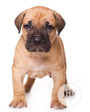 0-1 Month Female Purebred Boerboel   Dogs & Puppies for sale in Edo State, Benin City