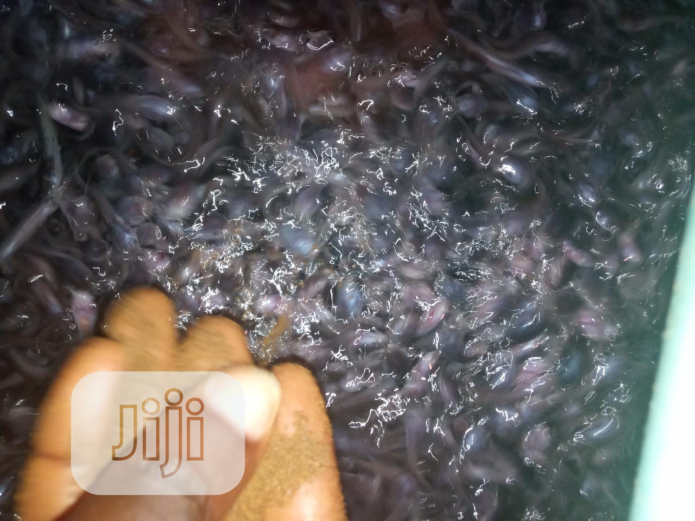 Catfish Seed Fingerlings | Livestock & Poultry for sale in Ijebu Ode, Ogun State, Nigeria