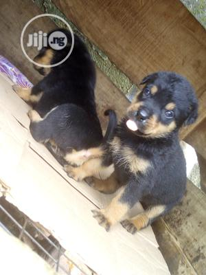 1-3 Month Female Purebred Rottweiler | Dogs & Puppies for sale in Ogun State, Ijebu Ode