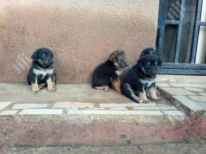 Baby Female Purebred German Shepherd   Dogs & Puppies for sale in Lagos State, Ikotun/Igando