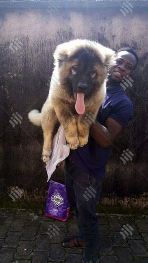 Baby Female Purebred Caucasian Shepherd   Dogs & Puppies for sale in Lagos State, Ikotun/Igando
