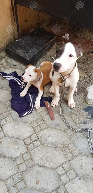 1-3 Month Male Purebred American Pit Bull Terrier | Dogs & Puppies for sale in Lagos State, Surulere