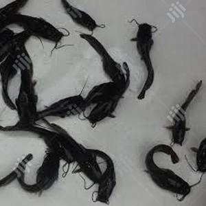 Fast Growth Catfish Hybrid And Clarias Fingerlings For Sale | Livestock & Poultry for sale in Lagos State, Ikeja