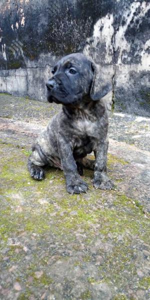 Baby Female Purebred Mastiff | Dogs & Puppies for sale in Enugu State, Enugu