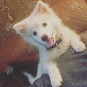 Baby Female Purebred American Eskimo | Dogs & Puppies for sale in Oyo State, Ibadan
