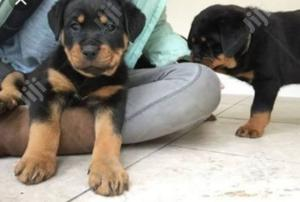 1-3 month Female Purebred Rottweiler | Dogs & Puppies for sale in Lagos State, Lekki