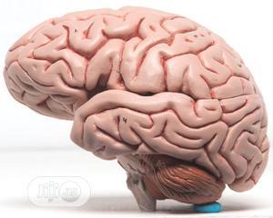 Brain Model   Medical Supplies & Equipment for sale in Lagos State, Lagos Island (Eko)