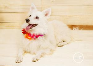 1+ Year Male Purebred American Eskimo | Dogs & Puppies for sale in Lagos State, Isolo