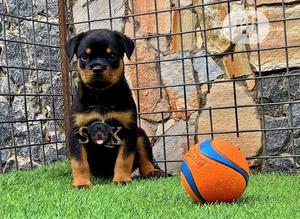 3-6 month Female Purebred Rottweiler | Dogs & Puppies for sale in Lagos State, Lekki