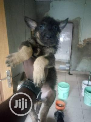 1-3 Month Female Purebred German Shepherd   Dogs & Puppies for sale in Lagos State, Agege