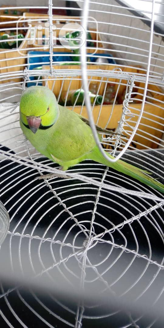 Rose-Ringed Parrot With Cage