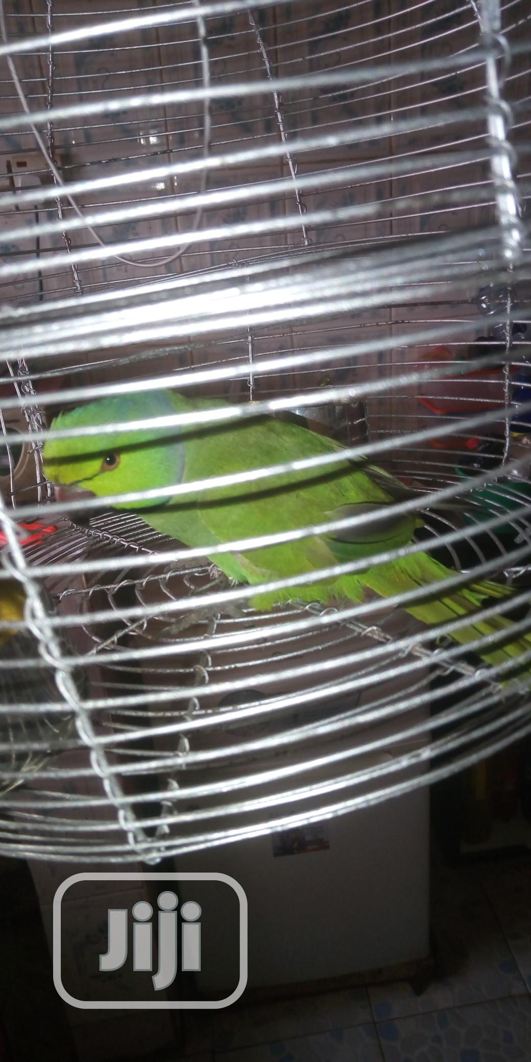 Rose-Ringed Parrot With Cage | Birds for sale in Alimosho, Lagos State, Nigeria